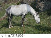 Купить «Серая лошадь щиплет траву», фото № 317906, снято 1 июня 2008 г. (c) Дарья Киселева / Фотобанк Лори