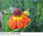 Купить «Садовый цветок гелениум», эксклюзивное фото № 319338, снято 3 сентября 2006 г. (c) Тамара Заводскова / Фотобанк Лори