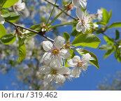 Купить «Цветущая вишня», фото № 319462, снято 17 мая 2008 г. (c) Яременко Екатерина / Фотобанк Лори