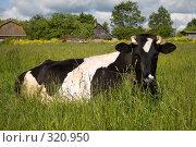 Купить «Пятнистая корова», фото № 320950, снято 13 июня 2008 г. (c) Сергей Васильев / Фотобанк Лори