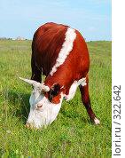 Купить «Корова», фото № 322642, снято 12 июня 2008 г. (c) Надежда Келембет / Фотобанк Лори