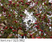 Красные ягоды кизильника в октябре. Стоковое фото, фотограф VPutnik / Фотобанк Лори