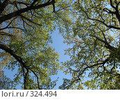 Купить «Кроны деревьев на фоне неба. Снизу», фото № 324494, снято 17 мая 2008 г. (c) Морковкин Терентий / Фотобанк Лори