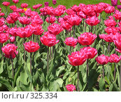 Купить «Много розовых тюльпанов на зелёном фоне, горизонтально», фото № 325334, снято 30 апреля 2008 г. (c) ИВА Афонская / Фотобанк Лори