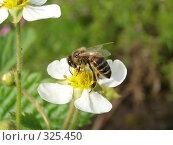 Купить «Пчела на цветке садовой земляники», фото № 325450, снято 14 июня 2008 г. (c) Ivan Markeev / Фотобанк Лори