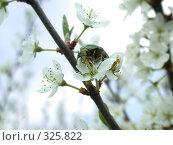 Купить «Жук на цветущей яблоне», фото № 325822, снято 1 мая 2005 г. (c) sav / Фотобанк Лори