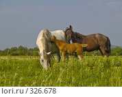 Купить «Пасущаяся на лугу лошадь с жеребятами», фото № 326678, снято 9 июня 2008 г. (c) Олег Рубик / Фотобанк Лори