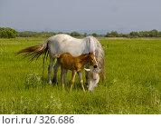 Купить «Пасущаяся на лугу лошадь с жеребенком», фото № 326686, снято 9 июня 2008 г. (c) Олег Рубик / Фотобанк Лори