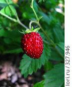 Купить «Ягода земляники садовой», фото № 327946, снято 18 июня 2008 г. (c) Михаил Ковалев / Фотобанк Лори