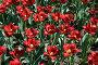 Красные тюльпаны, фото № 336798, снято 3 июня 2006 г. (c) Марина А. / Фотобанк Лори
