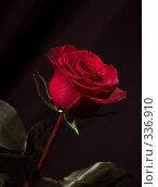 Купить «Красная роза в каплях росы на черном фоне», фото № 336910, снято 14 января 2008 г. (c) Владимир Воякин / Фотобанк Лори
