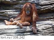 Купить «Орангутан Orangutan», фото № 338242, снято 21 июня 2008 г. (c) Ирина Иглина / Фотобанк Лори