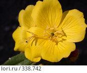 Купить «Желтые цветы, макро», фото № 338742, снято 3 июля 2005 г. (c) sav / Фотобанк Лори