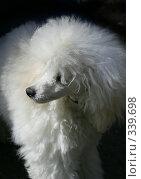 Белый пудель. Стоковое фото, фотограф ElenArt / Фотобанк Лори