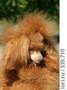 Абрикосовый пудель . Портрет. ( Apricot  poodle ) Стоковое фото, фотограф ElenArt / Фотобанк Лори