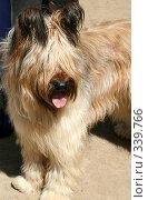 Купить «Чистопородная собака. Бриар (Французская овчарка)», фото № 339766, снято 15 января 2019 г. (c) ElenArt / Фотобанк Лори