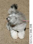 Серый карликовый пудель. Стоковое фото, фотограф ElenArt / Фотобанк Лори