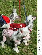 Собаки породы Китайская хохлатая. Стоковое фото, фотограф ElenArt / Фотобанк Лори