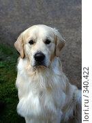 Собака породы голден ретривер. Стоковое фото, фотограф ElenArt / Фотобанк Лори