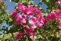 Розовые цветы бугенвиллеи (лат. Bougainvillea), фото № 341270, снято 24 сентября 2007 г. (c) Галина Михалишина / Фотобанк Лори