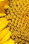 Подсолнечник в пору цветения. Макро., фото № 341950, снято 27 июня 2008 г. (c) Федор Королевский / Фотобанк Лори