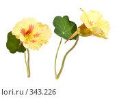 Купить «Желто-оранжевые цветы настурции, изолированное изображение», фото № 343226, снято 3 июля 2008 г. (c) Tamara Kulikova / Фотобанк Лори