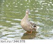 Купить «Стоящая в воде утка», фото № 344978, снято 28 июня 2008 г. (c) Огульчанский Александер / Фотобанк Лори