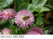 Купить «Пчелка на цветке», фото № 345882, снято 28 июня 2008 г. (c) Алексей Желтов / Фотобанк Лори