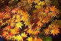 Ветка осеннего клена с красными и желтыми листьями. Maple yellow leafs, фото № 346294, снято 6 декабря 2007 г. (c) Serg Zastavkin / Фотобанк Лори
