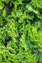 Фон из веток зеленого растения.  Abstract plant background, фото № 347194, снято 30 июля 2007 г. (c) chaoss / Фотобанк Лори