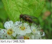 Купить «Муха на цветке», фото № 348926, снято 5 июля 2008 г. (c) Евгения Лаврова / Фотобанк Лори