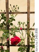 Купить «Ветви плетистой розы на шпалере», фото № 349898, снято 2 июля 2008 г. (c) Евгений Мареев / Фотобанк Лори