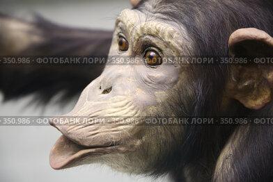 Купить «Шимпанзе», фото № 350986, снято 20 апреля 2019 г. (c) Losevsky Pavel / Фотобанк Лори