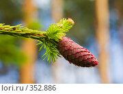 Купить «Ветка хвойного дерева с шишкой», фото № 352886, снято 11 июня 2007 г. (c) Argument / Фотобанк Лори