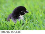 Купить «Чёрный цыплёнок на траве», фото № 354638, снято 9 июня 2008 г. (c) Григорий Писоцкий / Фотобанк Лори