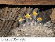 Купить «Ласточата в гнезде», фото № 354786, снято 17 июня 2008 г. (c) Григорий Писоцкий / Фотобанк Лори
