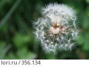 Купить «Зрелый одуванчик», фото № 356134, снято 9 июля 2008 г. (c) Коволенко Александра Сергеевна / Фотобанк Лори