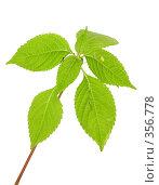 Купить «Веточка с листьями», фото № 356778, снято 16 августа 2018 г. (c) Олег / Фотобанк Лори