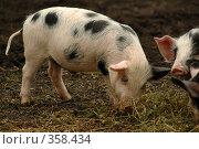 Купить «Свиньи», фото № 358434, снято 16 августа 2018 г. (c) Олег / Фотобанк Лори