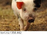 Купить «Свинья», фото № 358442, снято 14 ноября 2018 г. (c) Олег / Фотобанк Лори
