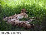 Купить «Дремлющие гепарды (Acinonyx jubatus)», фото № 358930, снято 2 июля 2008 г. (c) Михаил Крекин / Фотобанк Лори