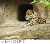 Купить «Ягуар (Panthera onca)», фото № 358946, снято 3 июля 2008 г. (c) Михаил Крекин / Фотобанк Лори
