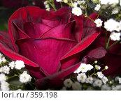 Купить «Роза», фото № 359198, снято 8 марта 2008 г. (c) Алешина Екатерина / Фотобанк Лори