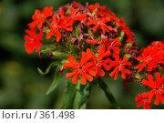 Лихнис - красные садовые цветы. Стоковое фото, фотограф Светлана Симонова / Фотобанк Лори