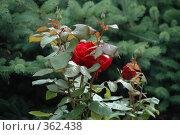 Купить «Дикая красная роза на хвойном фоне», фото № 362438, снято 9 июля 2008 г. (c) uioio / Фотобанк Лори
