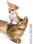 Купить «Щенок чихуахуа с кошкой в студии», фото № 363042, снято 4 июня 2008 г. (c) Vladimir Suponev / Фотобанк Лори