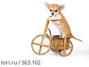 Купить «Щенок чихуахуа на велосипеде в студии», фото № 363102, снято 4 июня 2008 г. (c) Vladimir Suponev / Фотобанк Лори