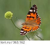 Купить «Бабочка Репейница на цветке», фото № 363162, снято 30 июня 2007 г. (c) Denis Kh. / Фотобанк Лори