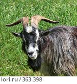 Купить «Старый козел», фото № 363398, снято 22 августа 2019 г. (c) ElenArt / Фотобанк Лори