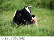 Черно-белая корова. Стоковое фото, фотограф Светлана Симонова / Фотобанк Лори